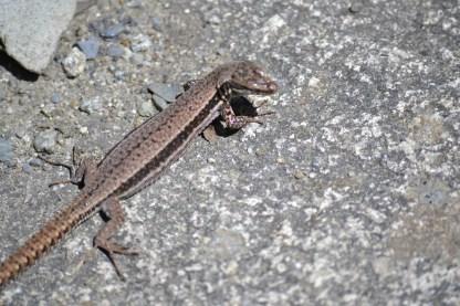 Lizard at Cauterets