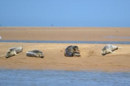 Seals basking at Wells next the Sea