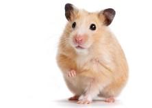 140710_wild_hamster-jpg-crop-promo-mediumlarge