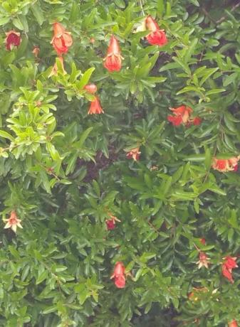 Dwarf Pomegranate