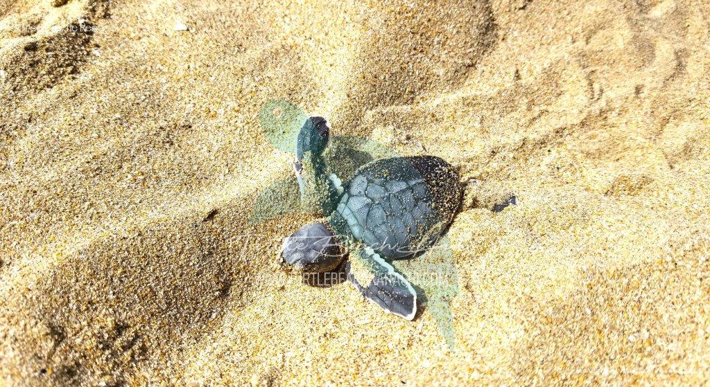 Baby Green Turtle Rescue - Turtle Beach Karachi Pakistan