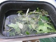 Leaves soaking in vinegar water