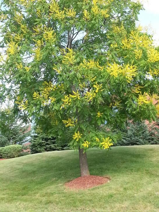 koelreuteria-paniculata-golden-rain-tree