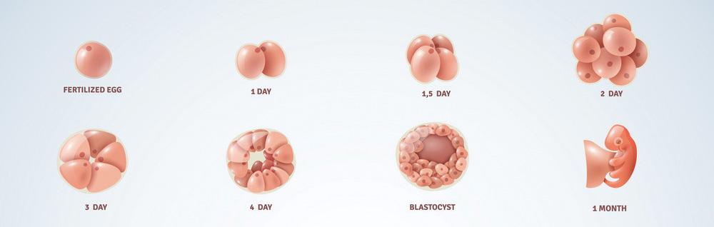 Razvoj fetusa