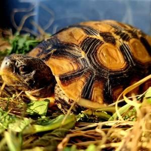 Żółw zawiasowy Kinixys belliana