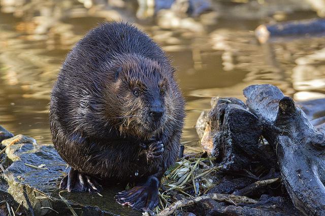 bronx river beaver