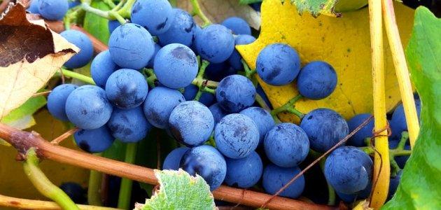 Colorado Concord grapes on the vine