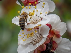 Bees in my Apricot Tree