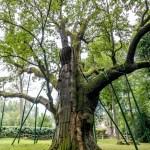 Dąb Bartek – słynne polskie drzewo