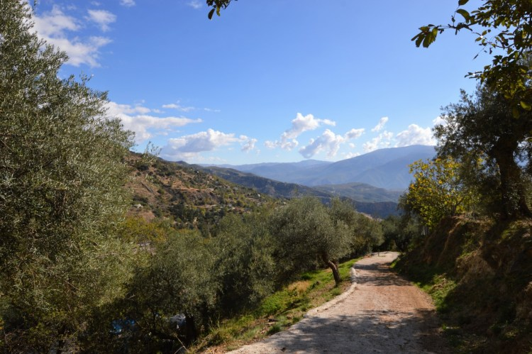 Photo in the Alpujarras showing a winding lane through an olive grove and the moutains in the distance.