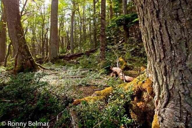 Este bosque en las cercanías de Puerto Williams es el punto de inicio del trekking a los Dientes de Navarino.