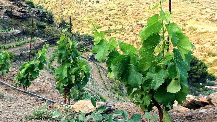 Detalle del viñedo de Cala Jóncols