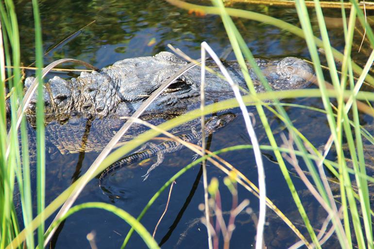 El cocodrilo americano habita en el Parque Nacional de los Everglades