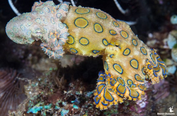 blue-ringed-octopus-mating-4