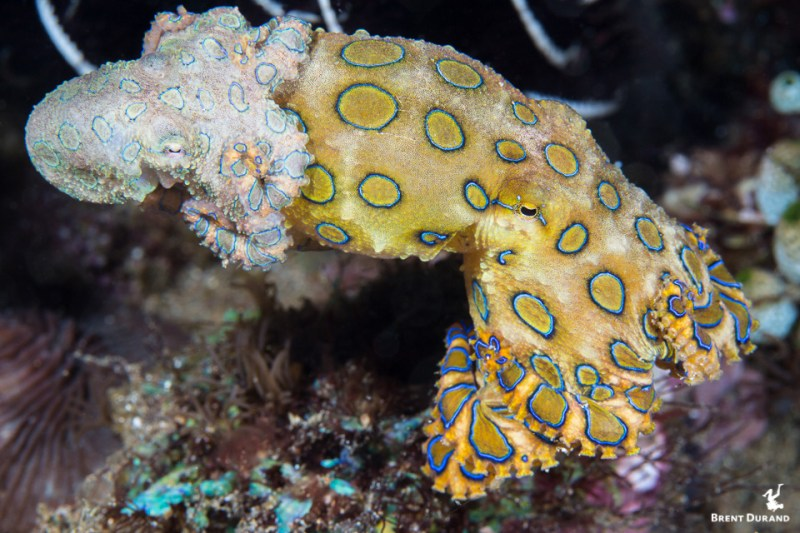 blue ringed octopus mating in Anilao, Philippines