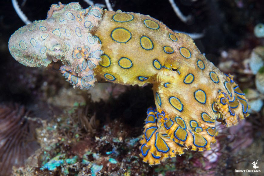 blue ringed octopus mating in Anilao