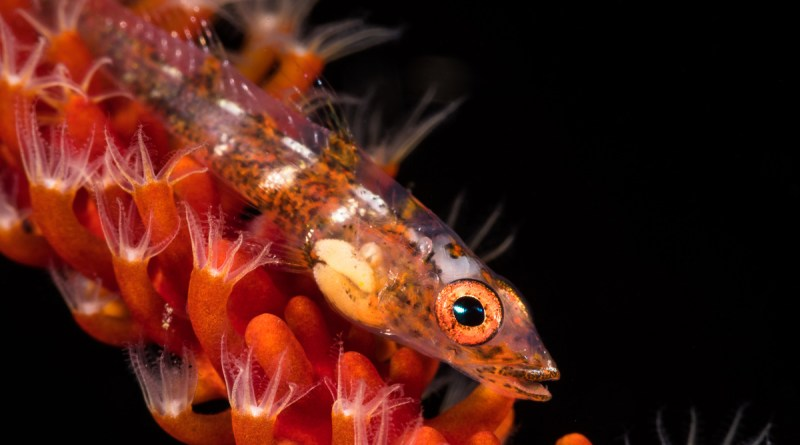 goby with no backscatter
