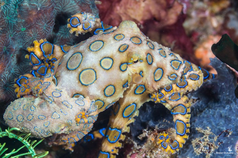 mating blue-ringed octopus