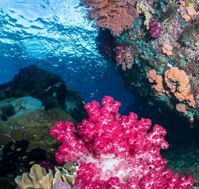 soft-coral-the-passage-raja-ampat