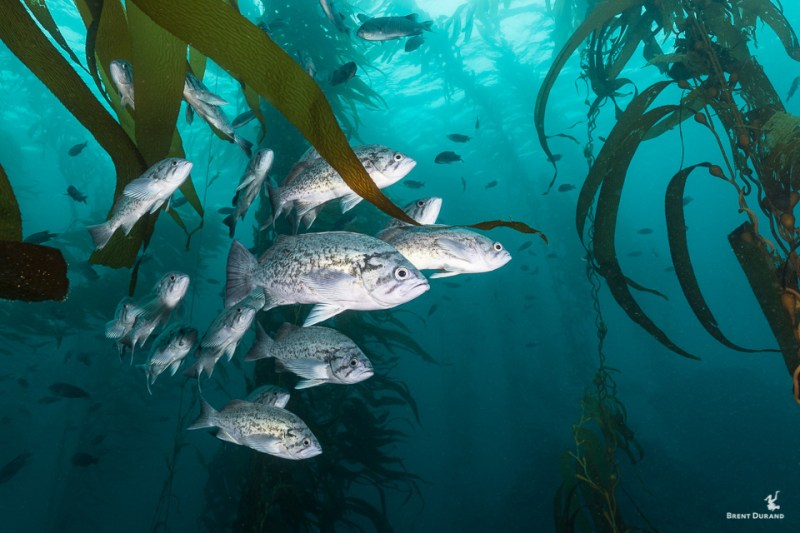 blue rockfish in channel islands kelp forest
