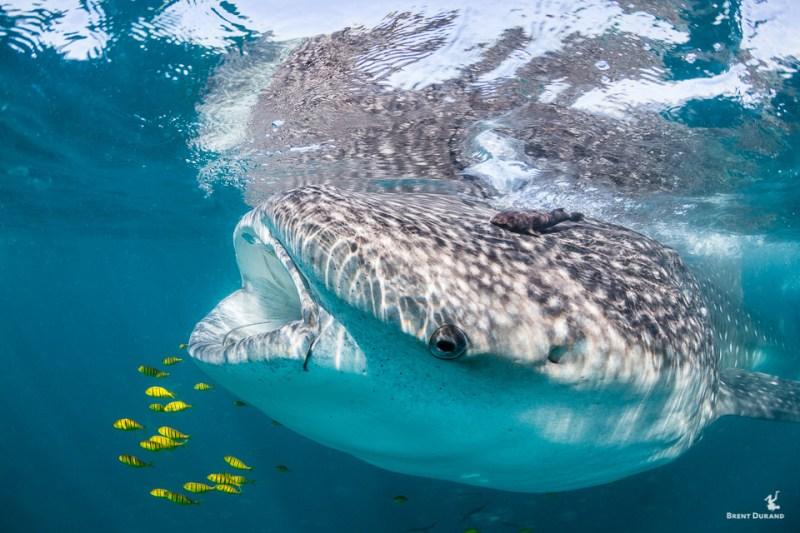 whale shark and pilot fish feeding