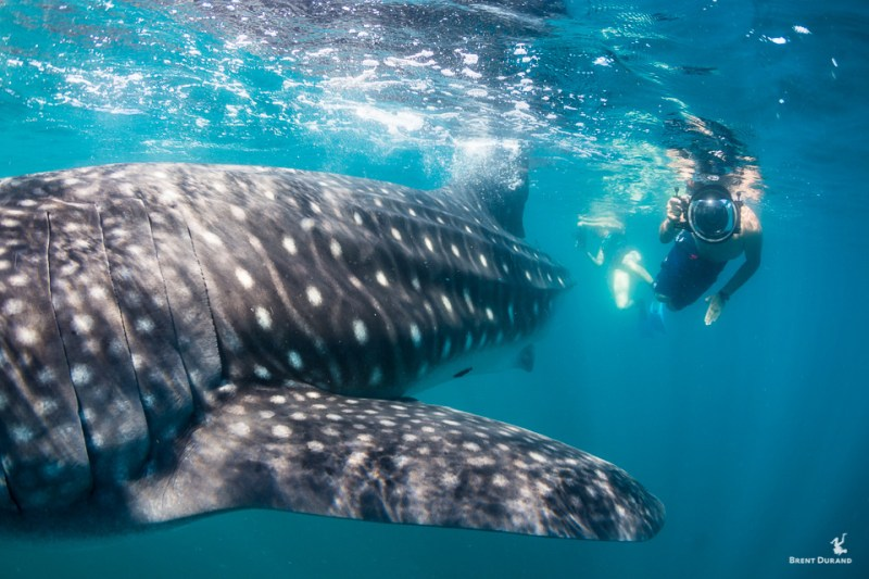 whale shark and snorkeling photographer in la paz