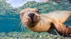 Scuba Diving a Sea Lion Colony