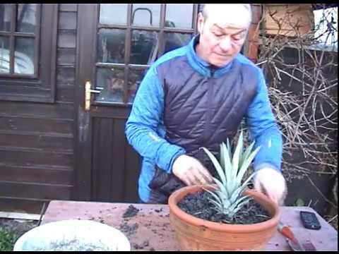 comment bouturer un ananas