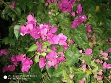 Bunga Bougenvile