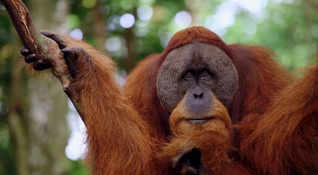 saving sumatra's big 4