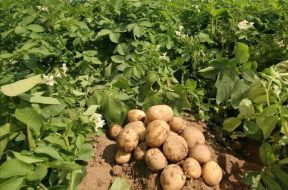 Potato-TVCNews