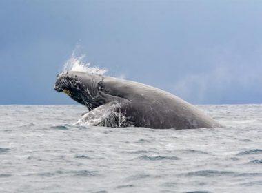 ballenas-samana-RD