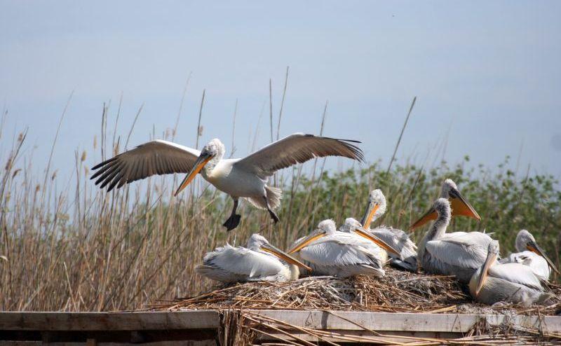 """къдроглави пеликани в """"Сребърна"""""""