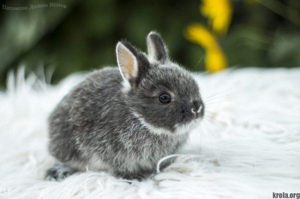 Породы декоративных кроликов: фото, названия и описание ...