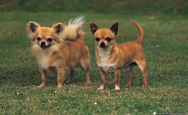 Как правильно выбрать щенка Чихуахуа: советы и рекомендации экспертов. Как выбрать щенка чихуахуа: советы и рекомендации Чихуахуа советы по выбору щенка