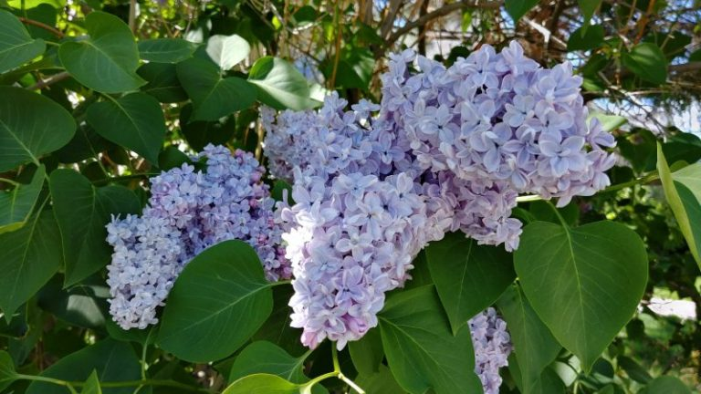 lilac bush, and act of hope