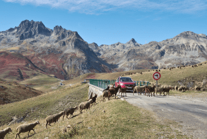 car waiting for sheep crossing