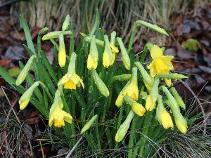 budding daffodils