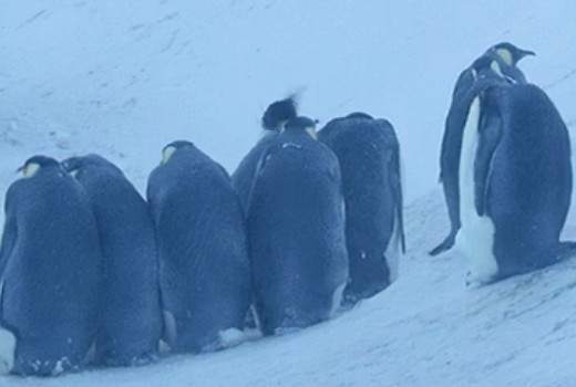 BBC crew step in to help penguins