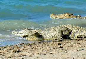 Crocodiles on beach and in water