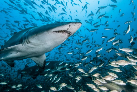 PICTURE SHOWS: Ragged Tooth Sharks feed in and around shipwrecks off the coast of North Carolina.