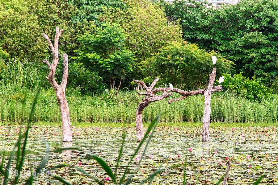 【高雄左營區景點】洲仔濕地公園:蓮池潭附近生態資源豐富的賞鳥景點   BringYou