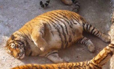 tigers-e1486433341239.jpg