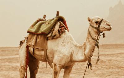 Wat hebben een struisvogel, een hamster en een kameel gemeen met organisaties vandaag?