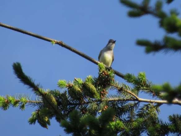 Western Kingbird (?)