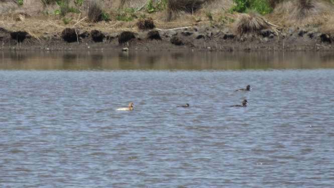 Leucistic Scaup (far left)