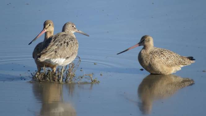 Two godwits and a willet