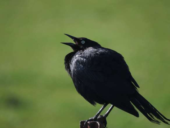 Brewer's Blackbird