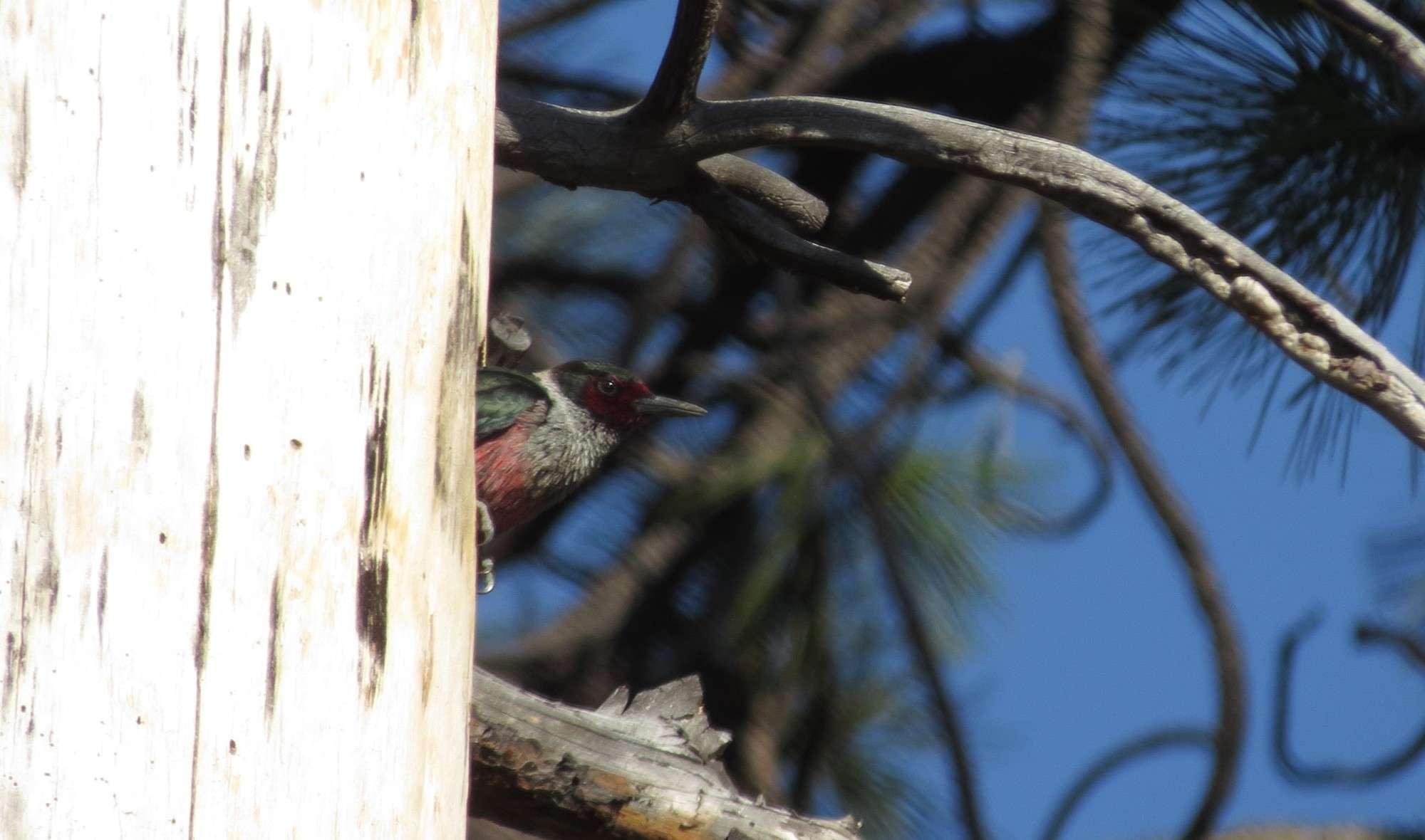 ¿Qué especies de pájaro carpintero se puede encontrar en Golden Gate Park? - Naturaleza de la bahía