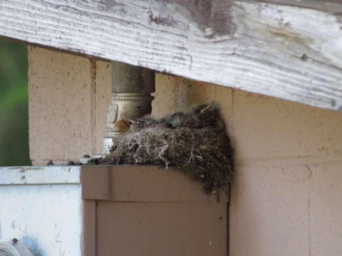 Say's Phoebe nest